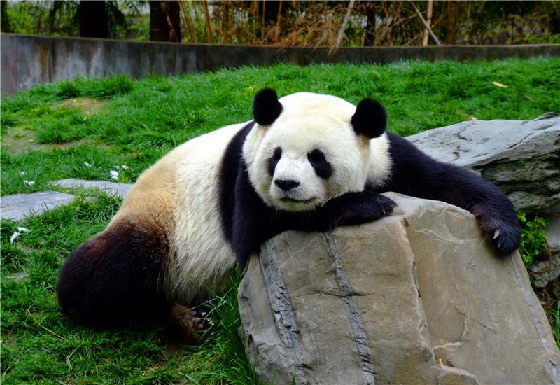A giant panda relaxing on a rock