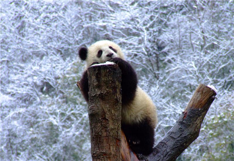 A giant panda on a tree