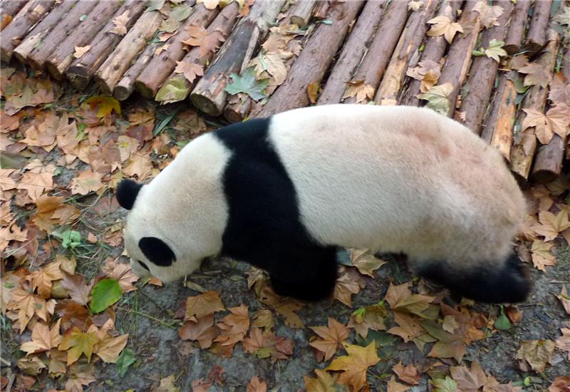 A giant panda with light pink fur