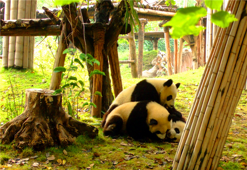 Three giant pandas playing with each other