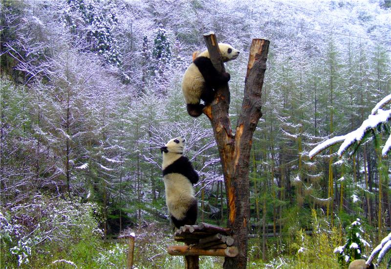 Two giant pandas climbing a tree