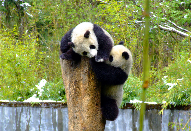 Two pandas on a tree