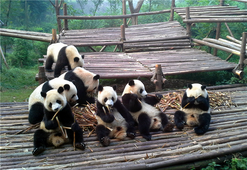 A group of giant pandas eating bamboo shoots